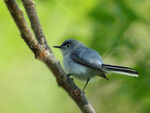 Gnatcatcher-300x225